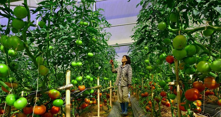[xkldquocte] Xuẩt khẩu lao động Nhật Bản - Tuyển 25 nam/nữ đi đơn hàng nông nghiệp thu hoạch cà chua tại Kumamoto - Nhật Bản 2019