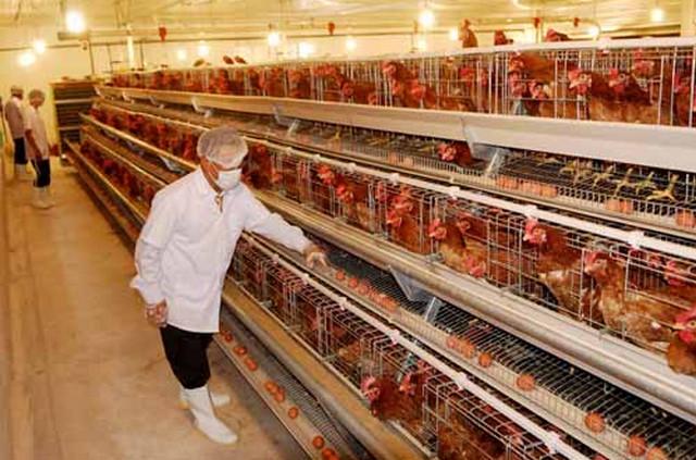 [xkldquocte] Xuẩt khẩu lao động Nhật Bản - Tuyển 10 nam chăn nuôi gà tại Ibaraki - Nhật Bản 2019
